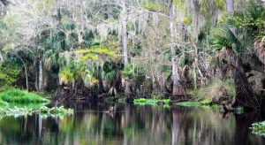 Browned Cypress on the Blackwater Creek