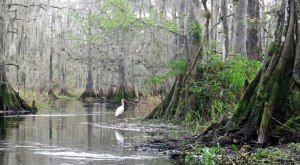 White Ibis on Fisheating Creek