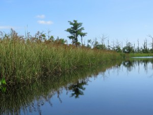 Tall Swamp Grasses on Bear Creek